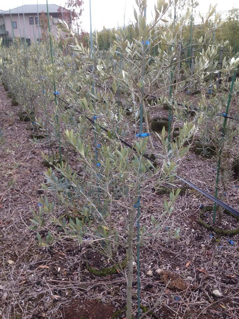オリーブの木の畑
