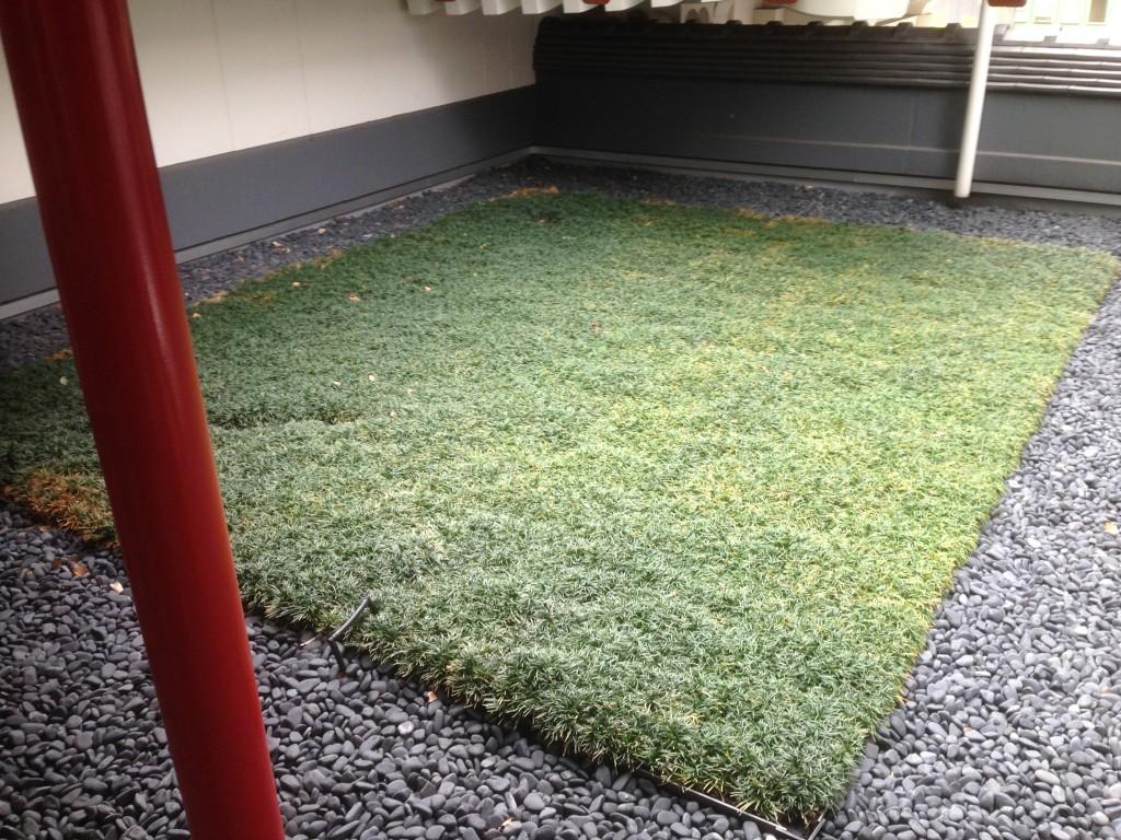 歌舞伎座の中庭の玉竜