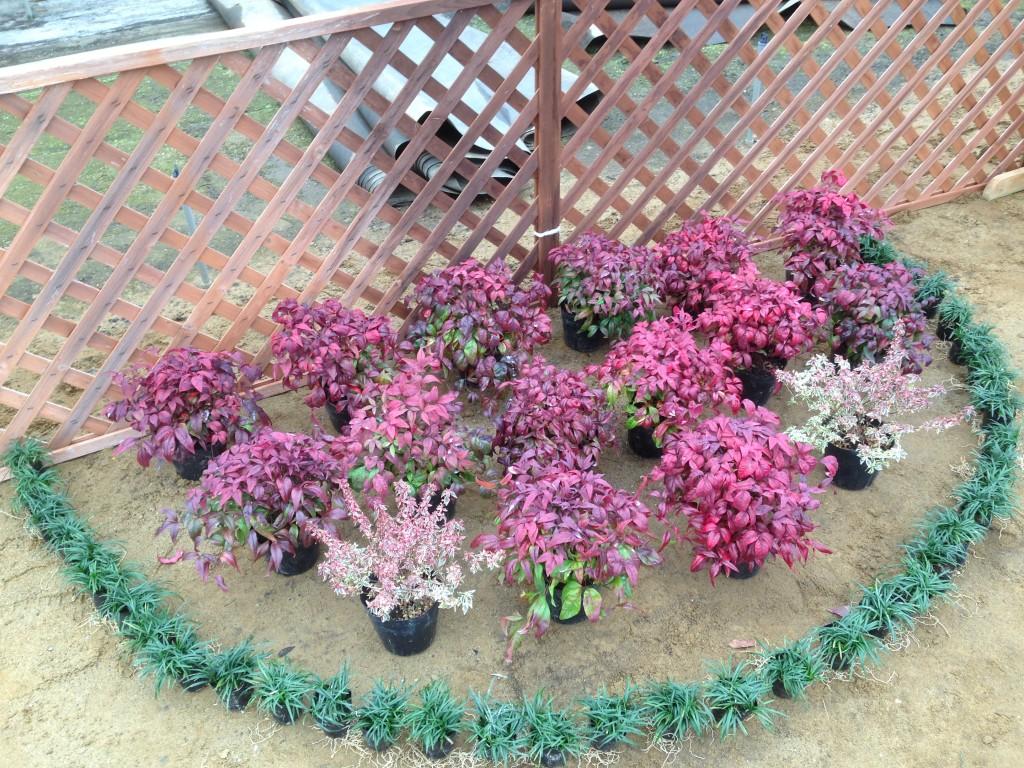 玉竜・お多福南天・アベリアのお庭セット